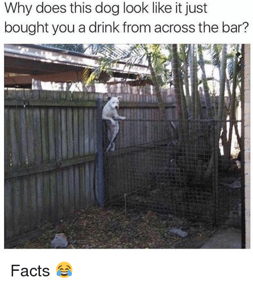 Facts, Memes, and 🤖: Why does this dog look like it just  bought you a drink from across the bar? Facts 😂