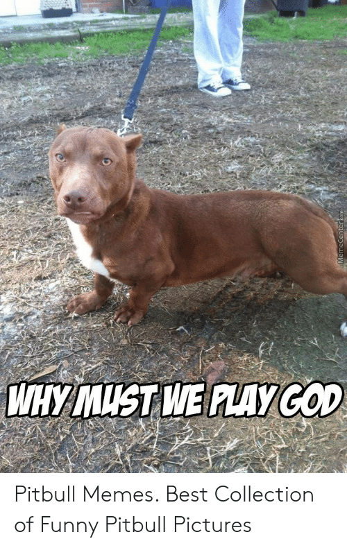 Funny Pitbull Pictures: WHY MUST WE ALAYCOD  MemeCenter.com Pitbull Memes. Best Collection of Funny Pitbull Pictures