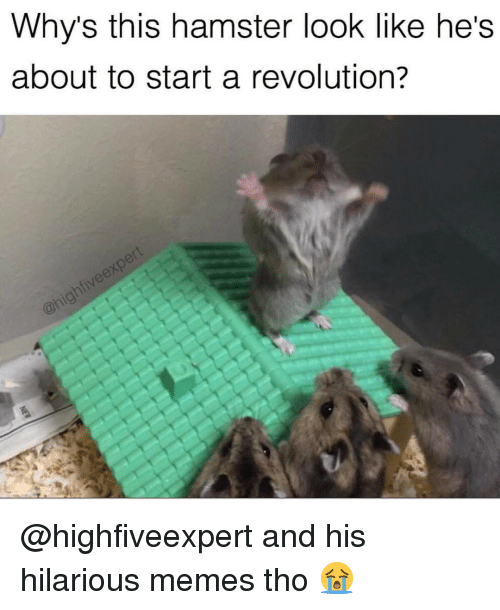 Hilariousness: Why's this hamster look like he's  about to start a revolution? @highfiveexpert and his hilarious memes tho 😭