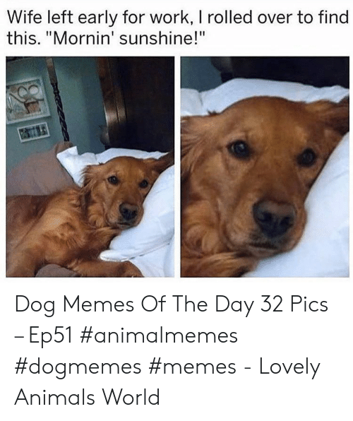 """Animals, Memes, and Work: Wife left early for work, I rolled over to find  this. """"Mornin' sunshine!"""" Dog Memes Of The Day 32 Pics – Ep51 #animalmemes #dogmemes #memes - Lovely Animals World"""