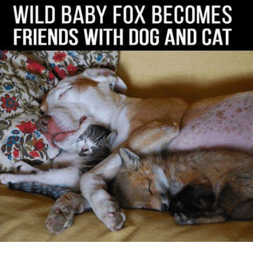 dog-and-cats: WILD BABY FOX BECOMES  FRIENDS WITH DOG AND CAT