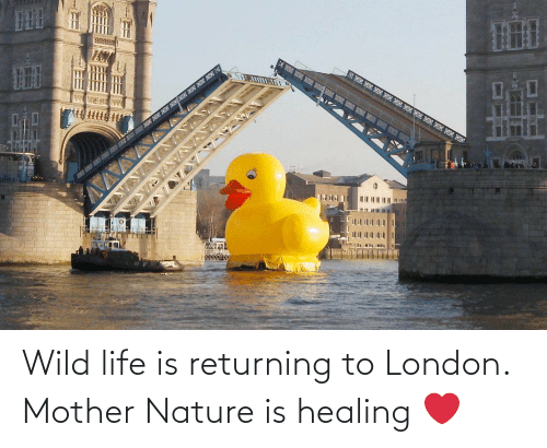 London: Wild life is returning to London. Mother Nature is healing ❤️