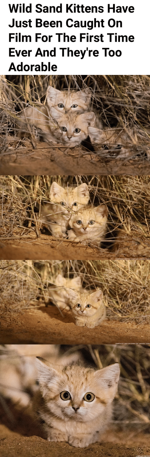 Kittens, Time, and Wild: Wild Sand Kittens Have  Just Been Caught On  Film For The First Time  Ever And They're Too  Adorable   OGRÉGORY BRETON/SAND CAT SAHARA TEAM   OGRÉGORY BRETON/SAND CAT SAHARA TEAM
