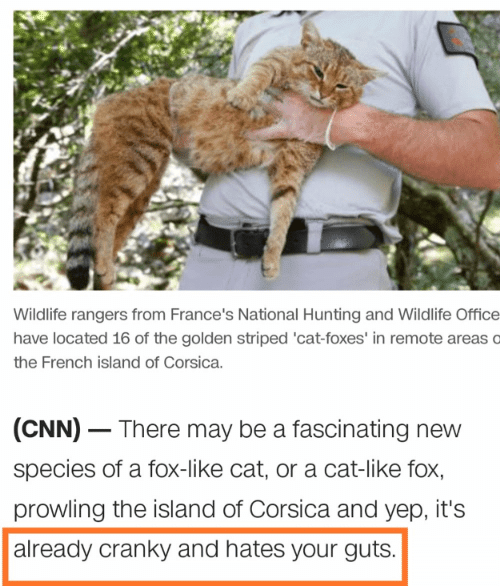 foxes: Wildlife rangers from France's National Hunting and Wildlife Office  have located 16 of the golden striped 'cat-foxes' in remote areas o  the French island of Corsica.  (CNN) There may be a fascinating new  species of a fox-like cat, or a cat-like fox,  prowling the island of Corsica and yep, it's  already cranky and hates your guts.
