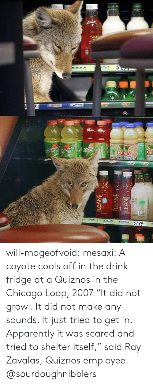 "Apparently, Chicago, and Tumblr: will-mageofvoid:  mesaxi:  A coyote cools off in the drink fridge at a Quiznos in the Chicago Loop, 2007 ""It did not growl. It did not make any sounds. It just tried to get in. Apparently it was scared and tried to shelter itself,"" said Ray Zavalas, Quiznos employee.  @sourdoughnibblers"