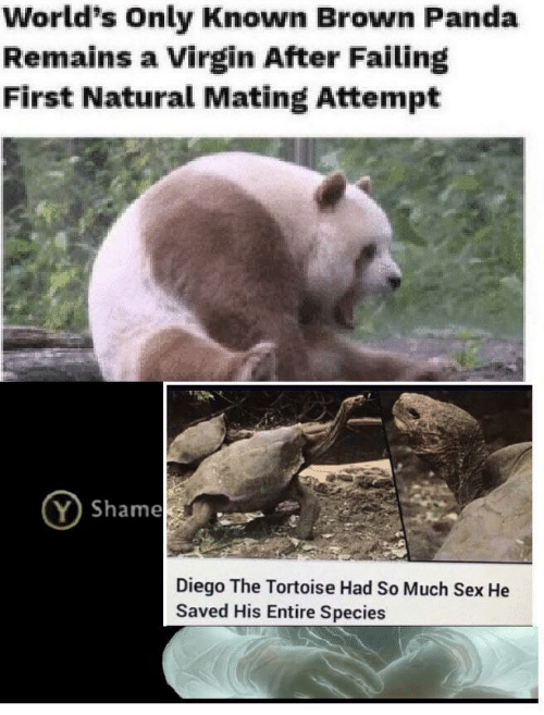 Sex, Virgin, and Panda: World's Only Known Brown Panda  Remains a Virgin After Failing  First Natural Mating Attempt  Shame  Diego The Tortoise Had So Much Sex He  Saved His Entire Species