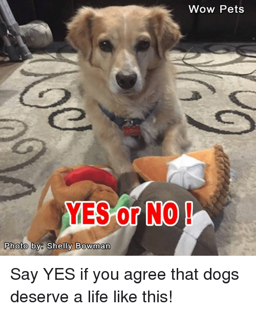 Memes, 🤖, and Wow Pet: Wow Pets  YES or NO  Photo by Shelly Bowman Say YES if you agree that dogs deserve a life like this!
