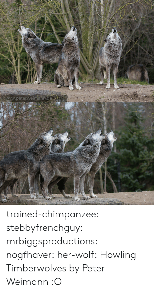 Holder: www.peterweímann trained-chimpanzee: stebbyfrenchguy:  mrbiggsproductions:  nogfhaver:  her-wolf:  Howling Timberwolves by  Peter Weimann            :O