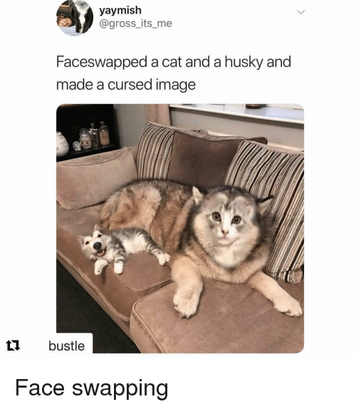 Bustle: yaymish  @gross_its_me  Faceswapped a cat and a husky and  made a cursed image  t bustle Face swapping