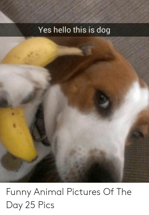 funny animal: Yes hello this is dog Funny Animal Pictures Of The Day 25 Pics