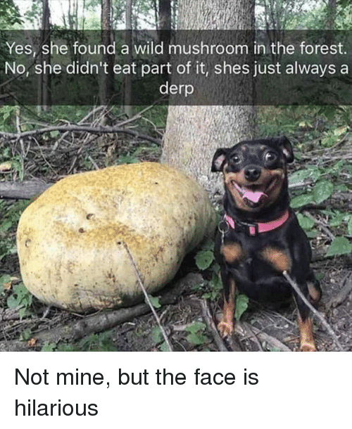 derp: Yes, she found a wild mushroom in the forest  No, she didn't eat part of it, shes just always a  derp Not mine, but the face is hilarious