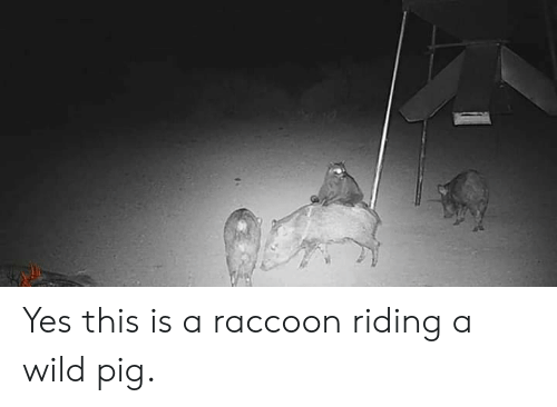 Raccoon, Wild, and Yes: Yes this is a raccoon riding a wild pig.