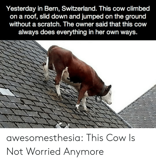 Tumblr, Blog, and Scratch: Yesterday in Bern, Switzerland. This cow climbed  on a roof, slid down and jumped on the ground  without a scratch. The owner said that this cow  always does everything in her own ways. awesomesthesia:  This Cow Is Not Worried Anymore