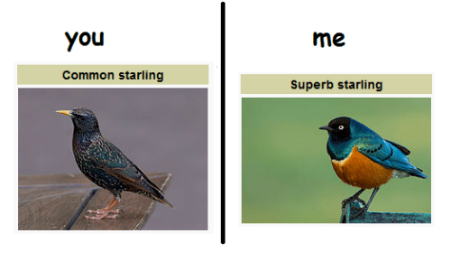 Common, Superb, and Starling: You  Common starling  Superb starling