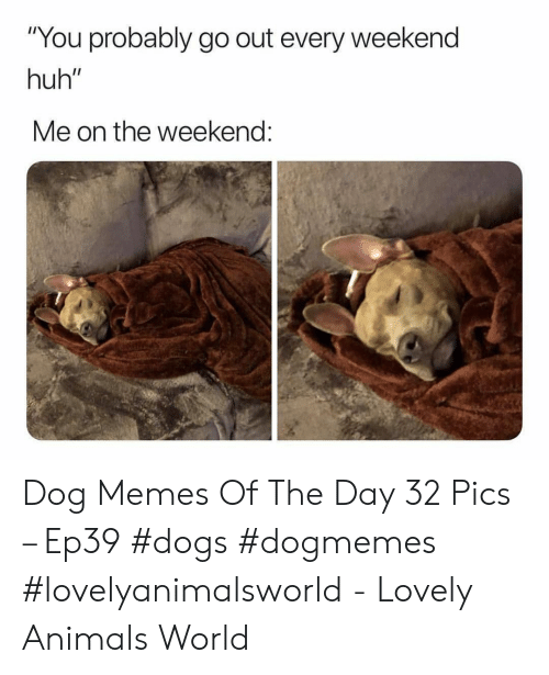 "Animals, Dogs, and Huh: ""You probably go out every weekend  huh""  Me on the weekend: Dog Memes Of The Day 32 Pics – Ep39 #dogs #dogmemes #lovelyanimalsworld - Lovely Animals World"