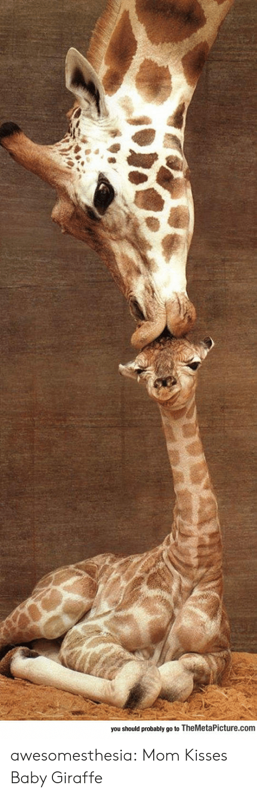 Tumblr, Blog, and Giraffe: you should probably go to TheMetaPicture.com awesomesthesia:  Mom Kisses Baby Giraffe