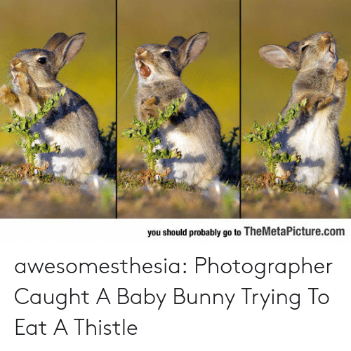 Tumblr, Blog, and Baby: you should probably go to TheMetaPicture.com awesomesthesia:  Photographer Caught A Baby Bunny Trying To Eat A Thistle