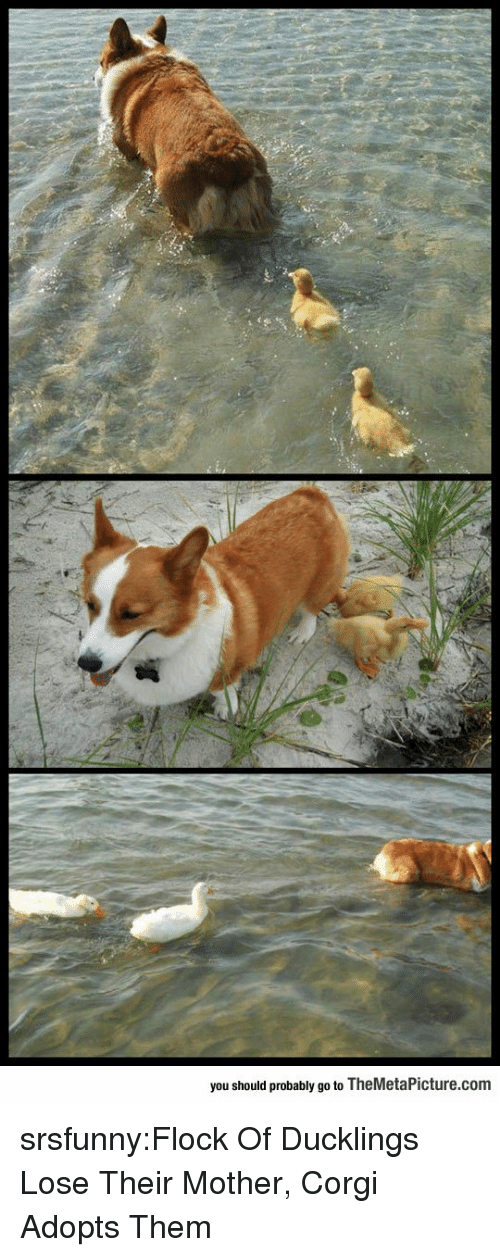 Corgi, Tumblr, and Blog: you should probably go to TheMetaPicture.com srsfunny:Flock Of Ducklings Lose Their Mother, Corgi Adopts Them