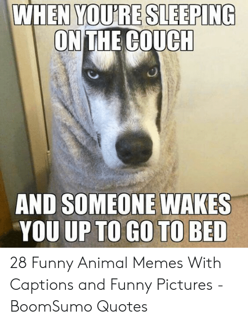 funny animal memes: YOU'RE SLEEPING  ON THE COUCH  WHEN  AND SOMEONE WAKES  YOU UP TO GO TO BED 28 Funny Animal Memes With Captions and Funny Pictures - BoomSumo Quotes