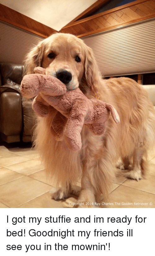 Stuffie: yright 2016 Ray Charles The Golden Retriever I got my stuffie and im ready for bed! Goodnight my friends ill see you in the mownin'!