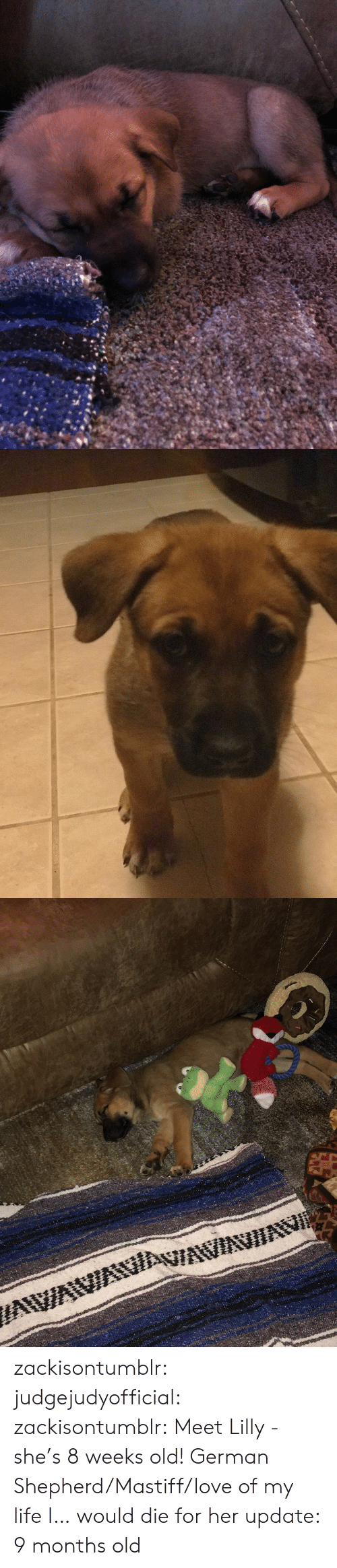 German Shepherd: zackisontumblr:  judgejudyofficial: zackisontumblr:  Meet Lilly - she's 8 weeks old! German Shepherd/Mastiff/love of my life  I… would die for her  update: 9 months old